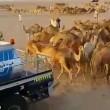 Cammelli nel deserto, autobotti per non farli morire di sete2