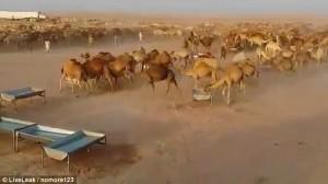 Cammelli nel deserto, autobotti per non farli morire di sete
