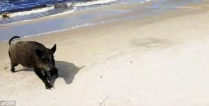 Guarda la versione ingrandita di YOUTUBE Cinghiale in spiaggia, bagnanti si buttano in acqua