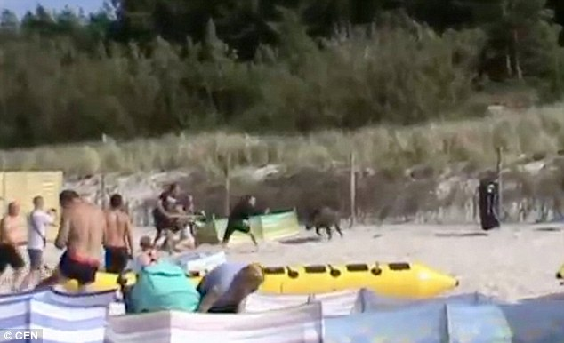 Cinghiale in spiaggia, bagnanti si buttano in acqua 3