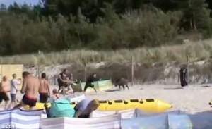 Cinghiale in spiaggia, bagnanti si buttano in acqua 4