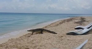 Coccodrillo cammina tra gli ombrelloni per raggiungere il mare2