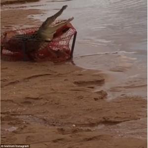 Coccodrillo lungo due metri catturato con rete per granchi 5