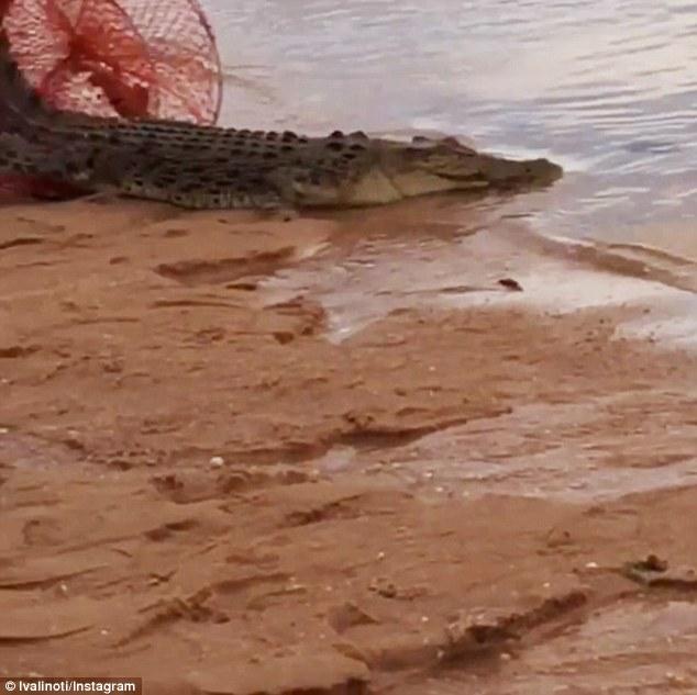 Coccodrillo lungo due metri catturato con rete per granchi 4