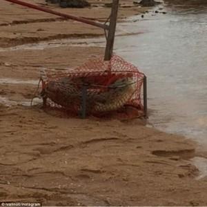 Guarda la versione ingrandita di YOUTUBE Coccodrillo lungo due metri catturato con rete per granchi