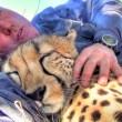 Cucciolo ghepardo incontra di nuovo il volontario: coccole e abbracci6