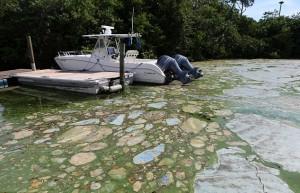 Florida, invasione di alghe verdi guacamole6666