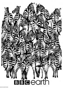 Illusione ottica: trova il tasso tra le zebre1