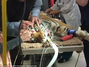 Guarda la versione ingrandita di YOUTUBE-FOTO Indira, la tigre del Bengala operata di cataratta