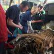 Indira, la tigre del Bengala operata di cataratta3