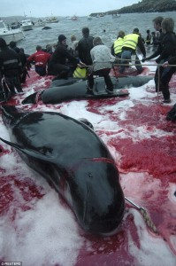 Guarda la versione ingrandita di YOUTUBE Isole Faroe, mare si tinge di rosso: è caccia alle balene