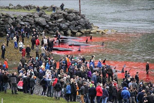 Isole Faroe, mare si tinge di rosso2