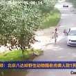 VIDEO YOUTUBE Donna uccisa da tigre in un parco naturale in Cina 02
