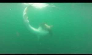 Guarda la versione ingrandita di YOUTUBE Lotta tra lo squalo tigre e lo squalo martello