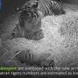 Mamma tigre coccola i suoi cuccioli
