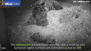 Guarda la versione ingrandita di YOUTUBE Mamma tigre coccola i suoi cuccioli