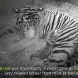 Mamma tigre coccola i suoi cuccioli 7