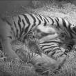 Mamma tigre coccola i suoi cuccioli 6