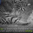 Mamma tigre coccola i suoi cuccioli 5