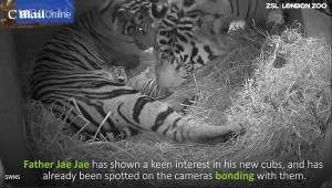 Mamma tigre coccola i suoi cuccioli 555