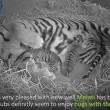 Mamma tigre coccola i suoi cuccioli 3
