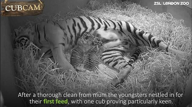 Mamma tigre coccola i suoi cuccioli 1