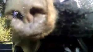 Guarda la versione ingrandita di YOUTUBE Orso intrappolato nell'auto: poliziotti aprono portellone