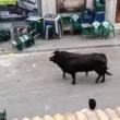 Toro in fuga entra in banca 4