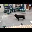 Toro in fuga entra in banca 3