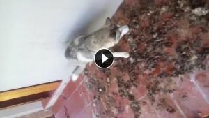 Guarda la versione ingrandita di VIDEO Husky abbandonato in terrazza tra le feci