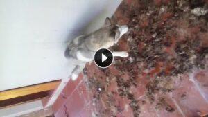 VIDEO Husky abbandonato in terrazza tra le feci444