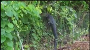 YOUTUBE Alligatore lungo 2 metri e mezzo scavalca rete golf club