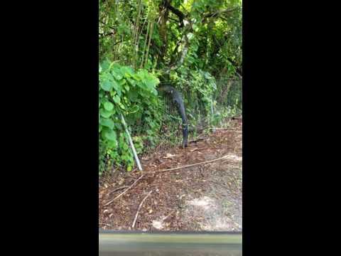 Alligatore lungo 2 metri e mezzo scavalca rete golf club1