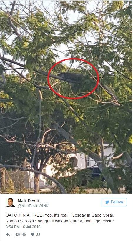 Alligatore su un albero in Florida