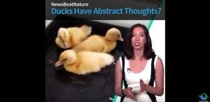 Guarda la versione ingrandita di YOUTUBE Anatroccoli intelligenti: hanno capacità di astrazione