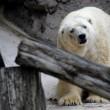 Arturo, l'orso più triste del mondo è morto04