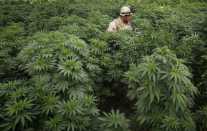 A Canadian soldier from the 6th Platoon, Bulldog Company, 1st Battalion, 22nd Royal Regiment walks through a field of Marijuana plants during a patrol in the Panjwai district of Kandahar province southern Afghanistan, June 13, 2011.Canada will end its combat role in Afghanistan by the end of July, after nearly ten years fighting in Afghanistan. REUTERS/Baz Ratner (AFGHANISTAN - Tags: CONFLICT)