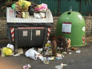 Guarda la versione ingrandita di Roma, cinghiali tra l'immondizia a via Cortina d'Ampezzo FOTO