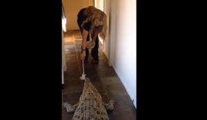 Guarda la versione ingrandita di Tiene in casa un coccodrillo. E lo nutre così...