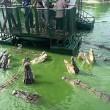 Coccodrilli circondano turisti su zattera