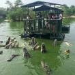 Coccodrilli circondano turisti su zattera5