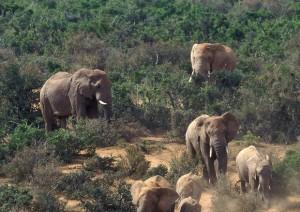 Malawi, 500 elefanti traslocano per sfuggire ai bracconieri VIDEO