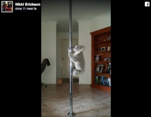 VIDEO YOUTUBE Koala fa la lap dance in casa