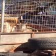 Lamborghini trasporta capre col rimorchio3
