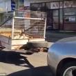 Lamborghini trasporta capre col rimorchio4