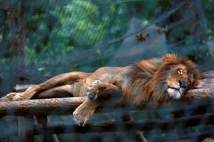 Guarda la versione ingrandita di Venezuela, emergenza cibo zoo: animali morti, a rischio leoni