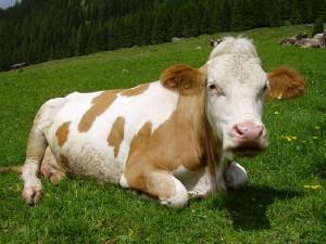 Entra nella stalla e scopre marito che la tradisce... con la mucca!