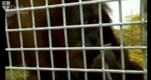 """YOUTUBE Orangotango Rocky """"spiega"""" evoluzione della parola"""
