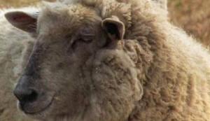 Carne clonata, la mangiamo? Il boom negli animali da riproduzione