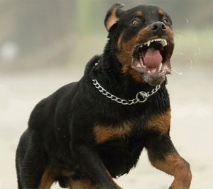 Parma, coppia denuncia aggressione omofoba con Rottweiler